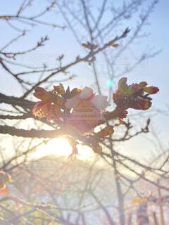 空,花,桜,屋外,ピンク,朝日,枝,サクラ,櫻,樹木,正月,お正月,日の出,新年,初日の出,草木,緋寒桜,元旦桜