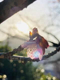 空,花,桜,ピンク,太陽,朝日,景色,サクラ,櫻,外,正月,お正月,日の出,新年,初日の出,緋寒桜,元旦桜