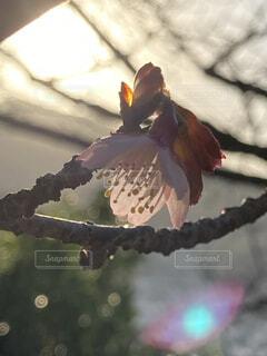 花,桜,太陽,朝日,光,サクラ,櫻,正月,お正月,日の出,新年,初日の出,草木,緋寒桜,元旦桜