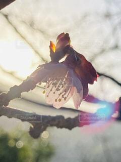 空,花,桜,ピンク,太陽,朝日,光,サクラ,櫻,正月,お正月,日の出,快晴,新年,初日の出,緋寒桜,元旦桜