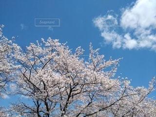 満開の桜と白い雲の写真・画像素材[3076865]