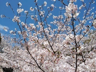 大高緑地公園に満開の桜の写真・画像素材[3076864]