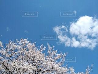 桜、青空、白い雲の写真・画像素材[3077754]