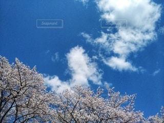 青い空、白い雲と桜の写真・画像素材[3079029]