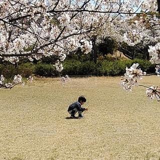 桜と男の子の写真・画像素材[3079068]