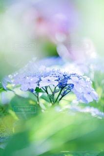 花,紫陽花,梅雨,日本花絶景