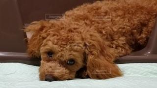 可愛い愛犬の写真・画像素材[2868281]
