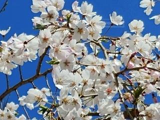 空,花,春,桜,満開,桜の花,さくら