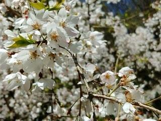 花,春,桜,しだれ桜,満開,草木,桜の花,さくら