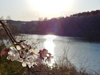 花,春,夕日,桜,夕暮れ,池,樹木,草木