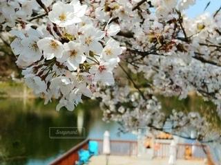 花,春,桜,青空,池,景色,樹木,湖面,草木,さくら,ボート乗り場