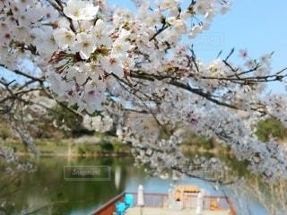 花,春,桜,青空,池,樹木,湖面,草木,さくら