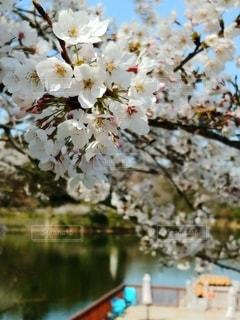 花,春,桜,青空,池,景色,樹木,草木,桜の花,さくら,ボート乗り場