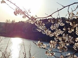 空,花,春,夕日,桜,池,景色,さくら
