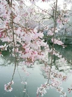 花,春,桜,水辺,しだれ桜,桜の花,さくら