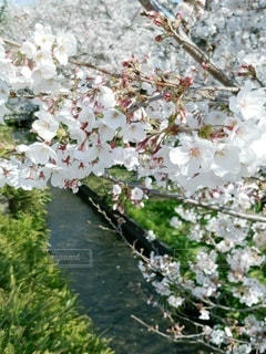 花,春,桜,緑,小川,草木,桜の花,ソメイヨシノ,さくら
