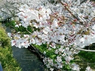 花,春,桜,小川,草木,ソメイヨシノ,さくら