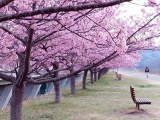 桜,ピンク,ベンチ,満開,並木道,河津桜,遊歩道,桜の花