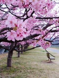 花,春,桜,ピンク,満開,樹木,河津桜,草木,桜の花