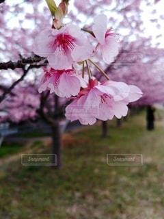 花,春,桜,ピンク,満開,河津桜,桜の花