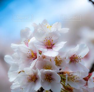春,桜,綺麗,景色,サクラ,満開,ブロッサム,染井吉野