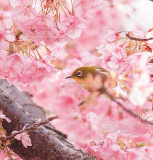 花,桜,動物,ピンク,サクラ,野鳥,メジロ,桜色,河津桜,サクジロー,満開のサクラ
