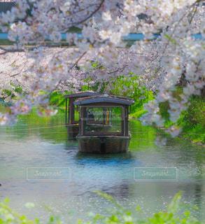 満開の桜と伏見十石舟の写真・画像素材[3078793]