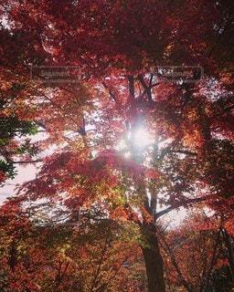 自然,風景,空,秋,紅葉,太陽,もみじ,日光,木漏れ日,日差し,樹木,カエデ