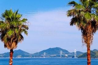 ヤシの木と来島海峡大橋の写真・画像素材[3343427]