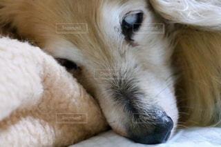 眠るミニチュアダックスフントのアップの写真・画像素材[3386810]
