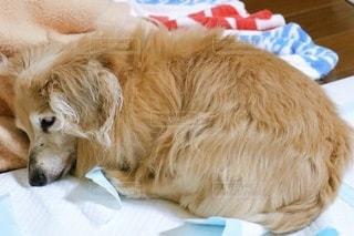 ペットシーツで寝るミニチュアダックスの写真・画像素材[3386813]