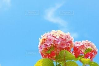 雨上がりの青空とあじさいの写真・画像素材[3389097]