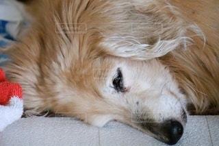 眠る18歳のミニチュアダックスフントの写真・画像素材[3389145]