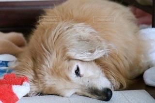 眠る18歳のミニチュアダックスフントの写真・画像素材[3389146]