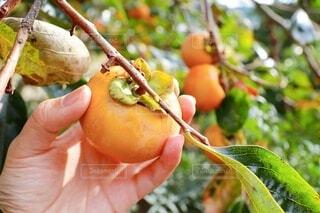 収穫期の富有柿の写真・画像素材[3835969]
