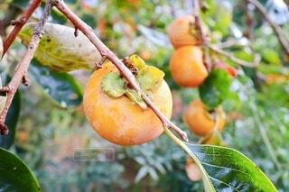収穫期の富有柿の写真・画像素材[3835968]