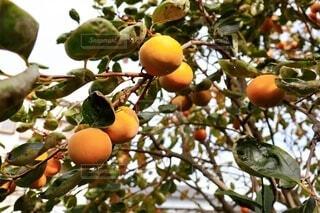 収穫期の富有柿の写真・画像素材[3835971]