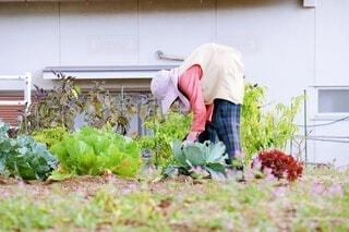 キャベツの世話をする80代の日本人女性の写真・画像素材[3912887]
