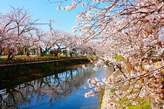 愛媛県西条市のひょうたん池の桜の写真・画像素材[4281086]