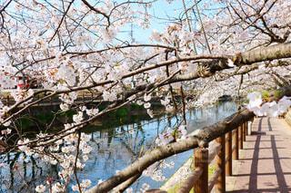 愛媛県西条市のひょうたん池の桜の写真・画像素材[4281088]