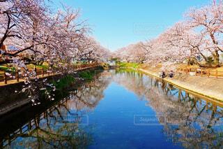 愛媛県西条市のひょうたん池の桜の写真・画像素材[4281089]