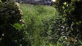自然,アウトドア,夏,庭,屋外,緑,植物,葉っぱ,季節,ガーデニング,草,樹木,猫じゃらし,雑草,いっぱい,塀,たくさん,グリーン,大量,成長,掃除,真夏,シーズン,空き地,荒廃,草木,自宅,多い,空き家,メンテナンス,生える,ガーデン,草刈り,大掃除,イネ科,荒地,対策,土地,草むしり,育つ,エノコログサ,繁殖,増殖,草引き,除草,大量発生,増える,荒れた,庭づくり,発生,繁殖力,エノコログサ属