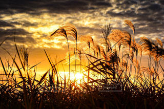 ススキと夕陽の写真・画像素材[2861061]