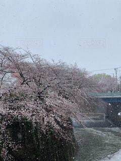 桜,雪,樹木