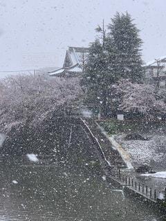 桜,雪,川
