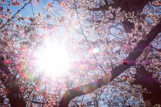 空,花,桜,屋外,太陽,枝,花見,木漏れ日,光,樹木,並木,景観,草木,sun,ブロッサム,国立駅