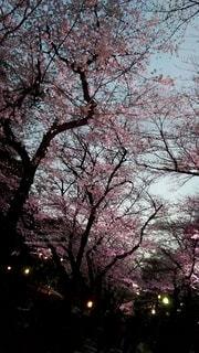 空,花,春,屋外,晴れ,夕方,樹木,ライトアップ,夕暮れ時,草木,3月,桜の花,過去,さくら,ブロッサム,肌寒い,去年