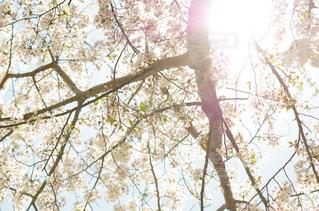 空,春,太陽,木漏れ日,光,さくら