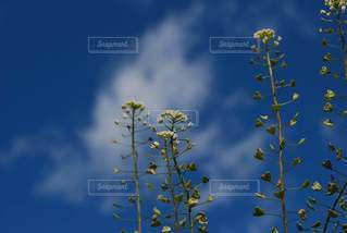 ペンペン草と空の写真・画像素材[2983783]
