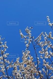 梅の写真・画像素材[3014366]